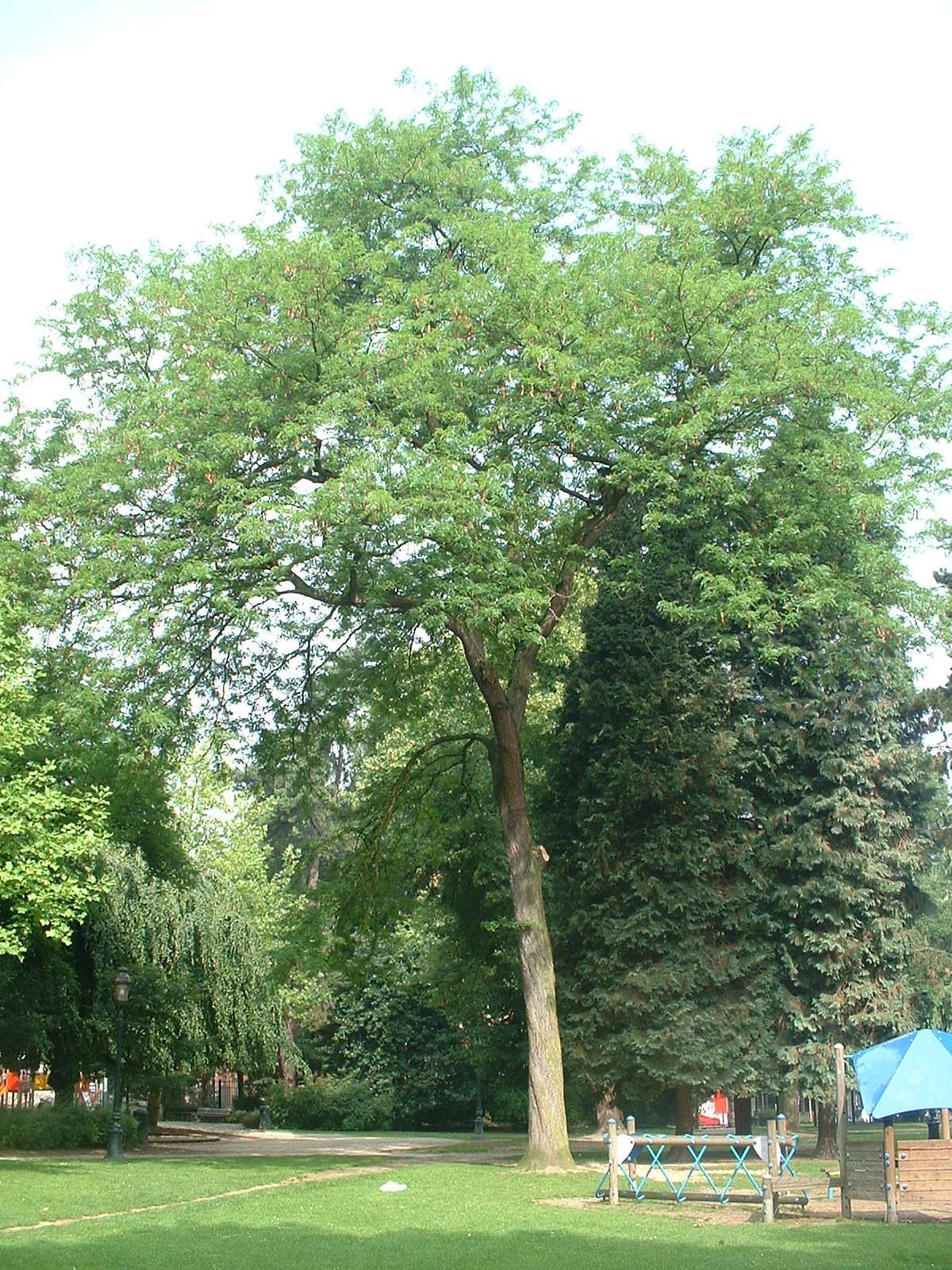 Févier sans épines – Jette, Parc Garcet, parc –  13 Juillet 2005
