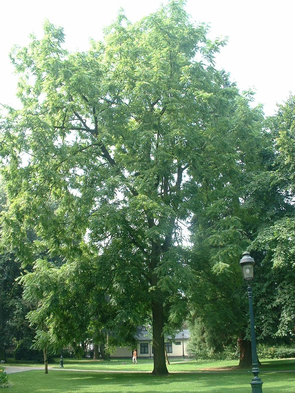Noyer noir – Jette, Parc Garcet, parc –  13 Juillet 2005