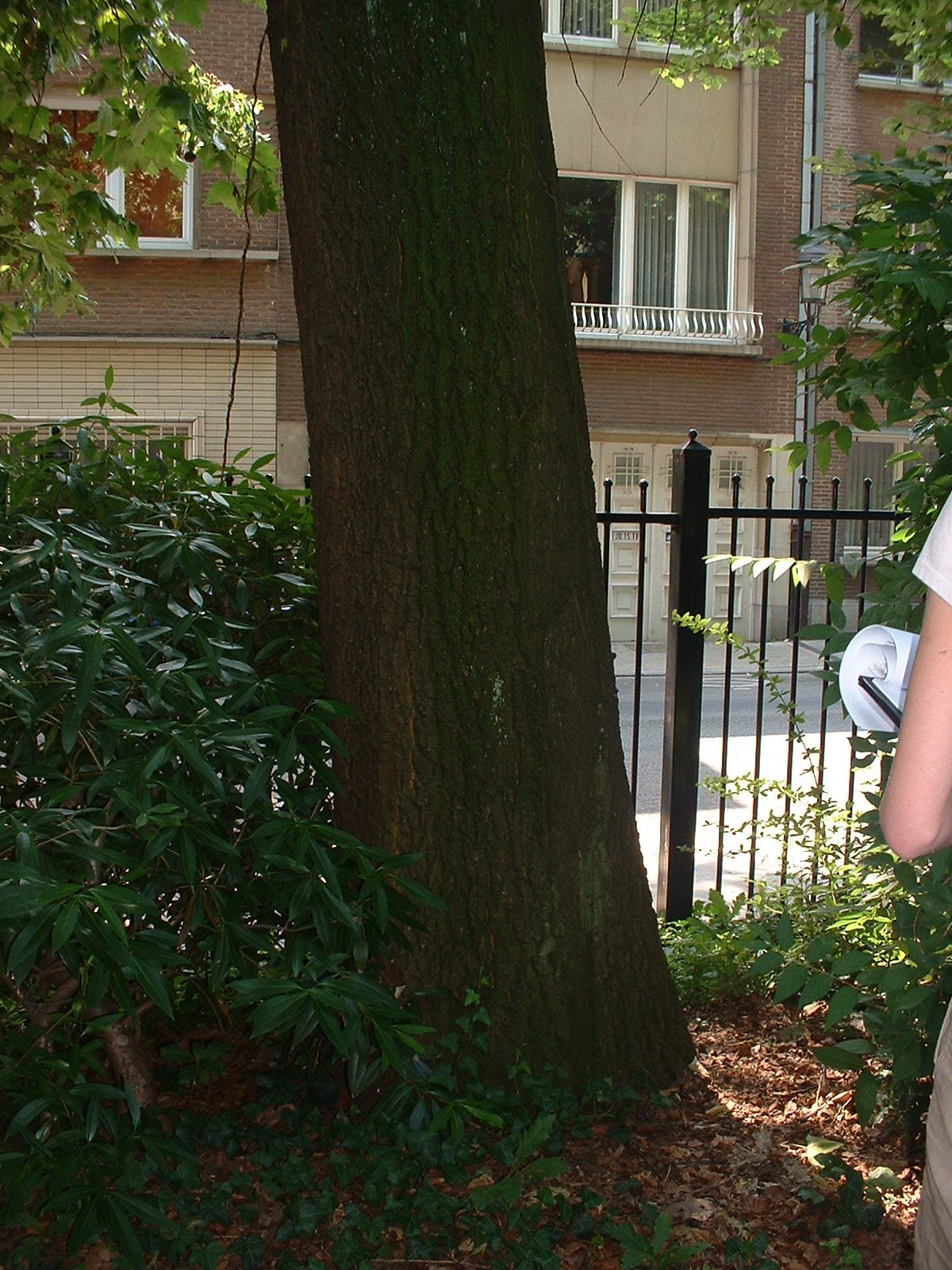 Chêne à cupules chevelues – Jette, Parc Garcet, Rue Gustave Van Huynegem –  13 Juillet 2005