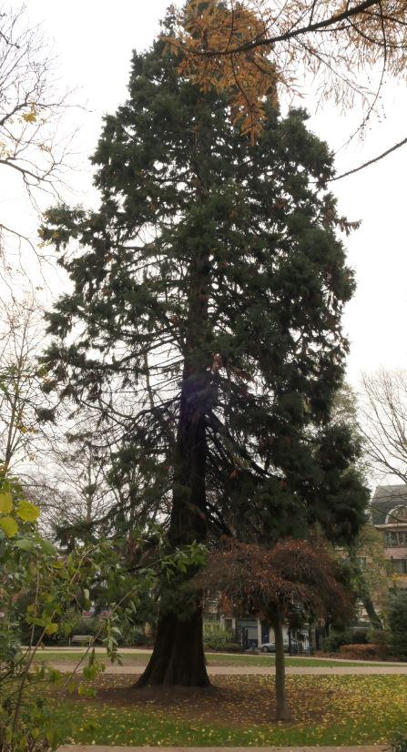 Sequoia géant – Jette, Parc Garcet, parc –  07 Décembre 2020