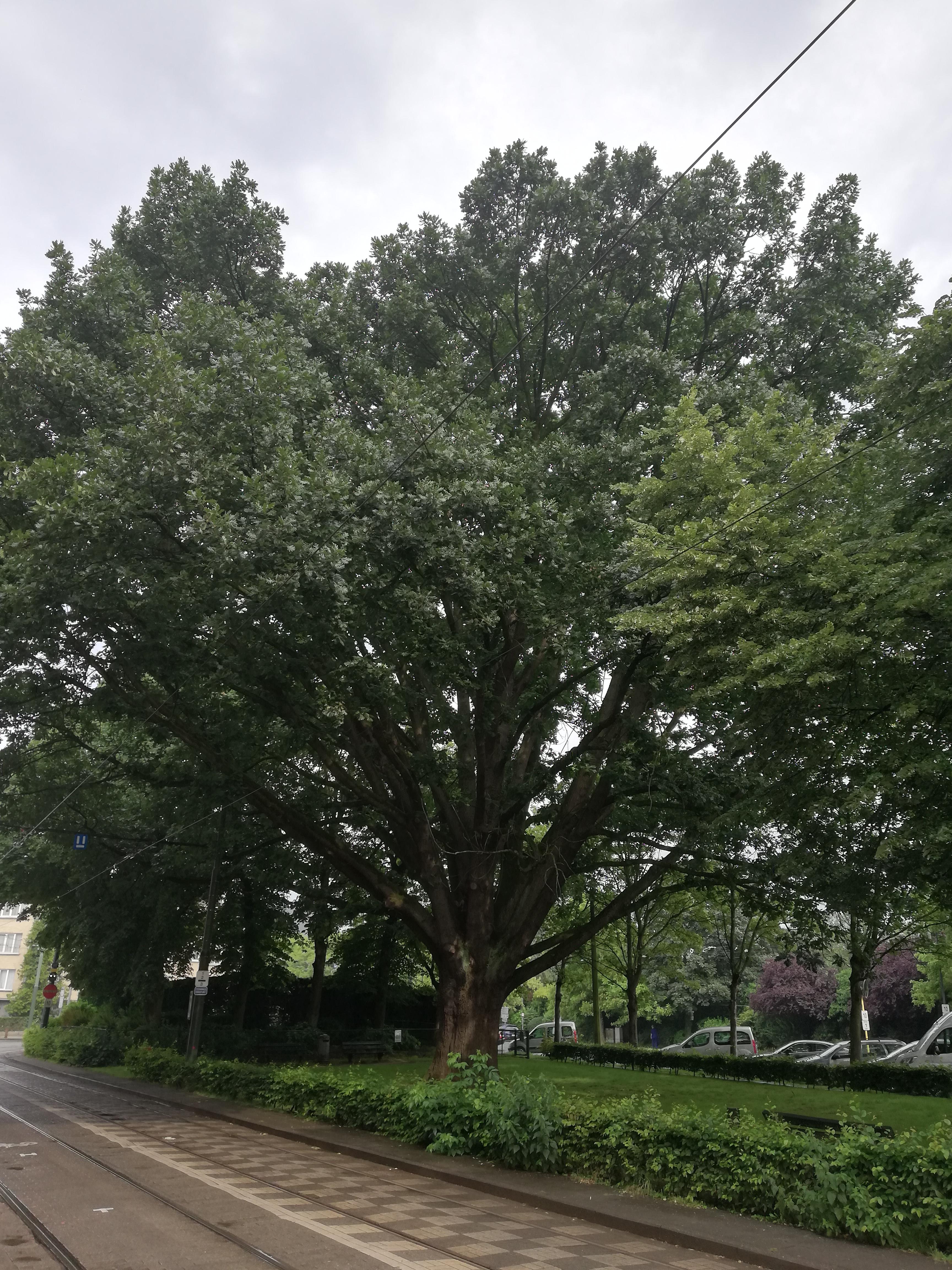 Chêne de Hongrie – Jette, Avenue Secrétin –  07 Juin 2018