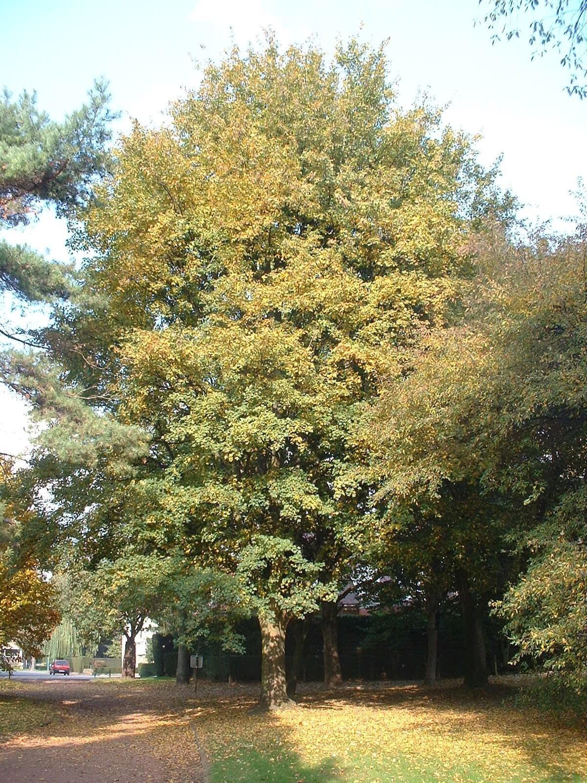 Erable champêtre – Anderlecht, Parc de Scherdemael, parc –  22 Octobre 2003