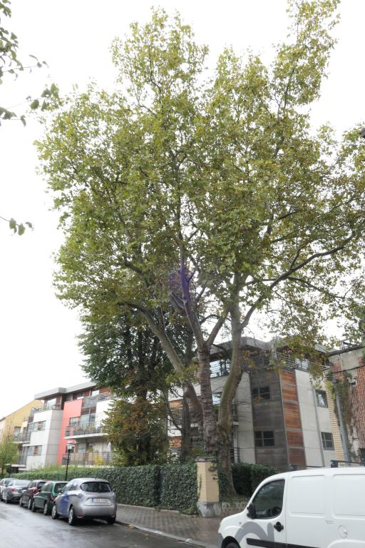 Platane à feuille d'érable – Jette, Rue Henri Werrie –  14 Octobre 2019
