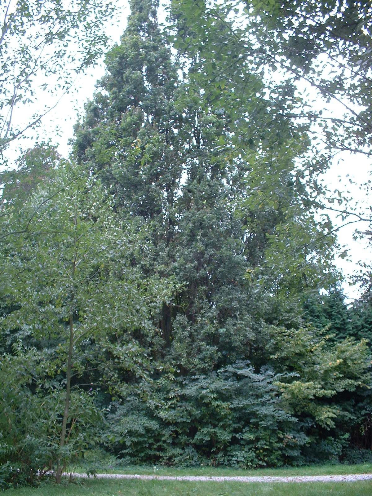 Chêne pédonculé fastigié – Jette, Parc du Sacré-Cœur de Jette, Avenue du Sacré-Coeur –  22 Septembre 2003