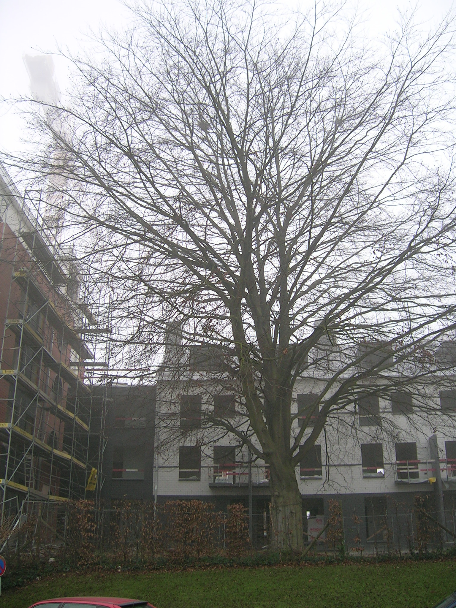 Hêtre pourpre – Jette, Place Jean Gabin –  09 Décembre 2004