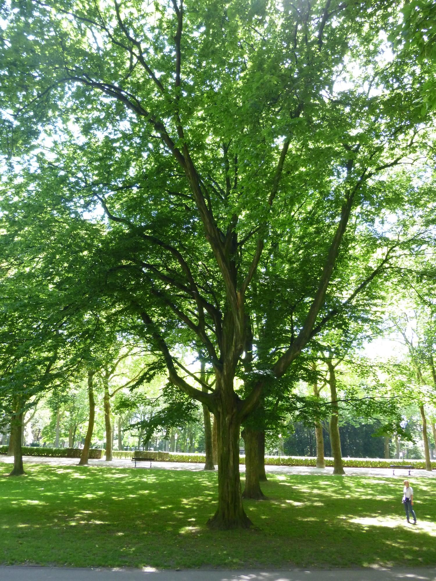 Charme commun – Koekelberg, Parc Elisabeth –  06 Juin 2014