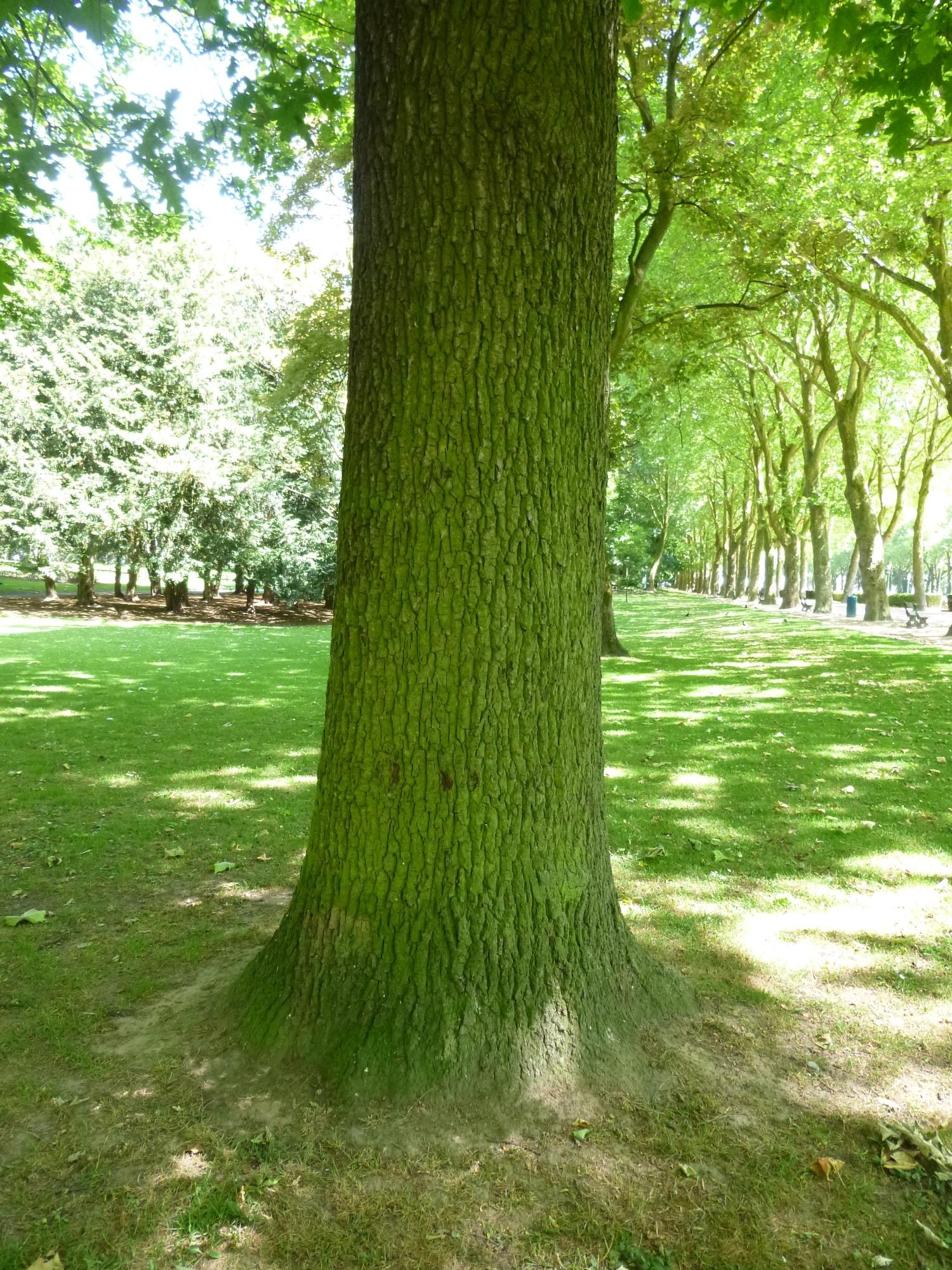 Chêne à cupules chevelues – Koekelberg, Parc Elisabeth –  06 Juin 2014