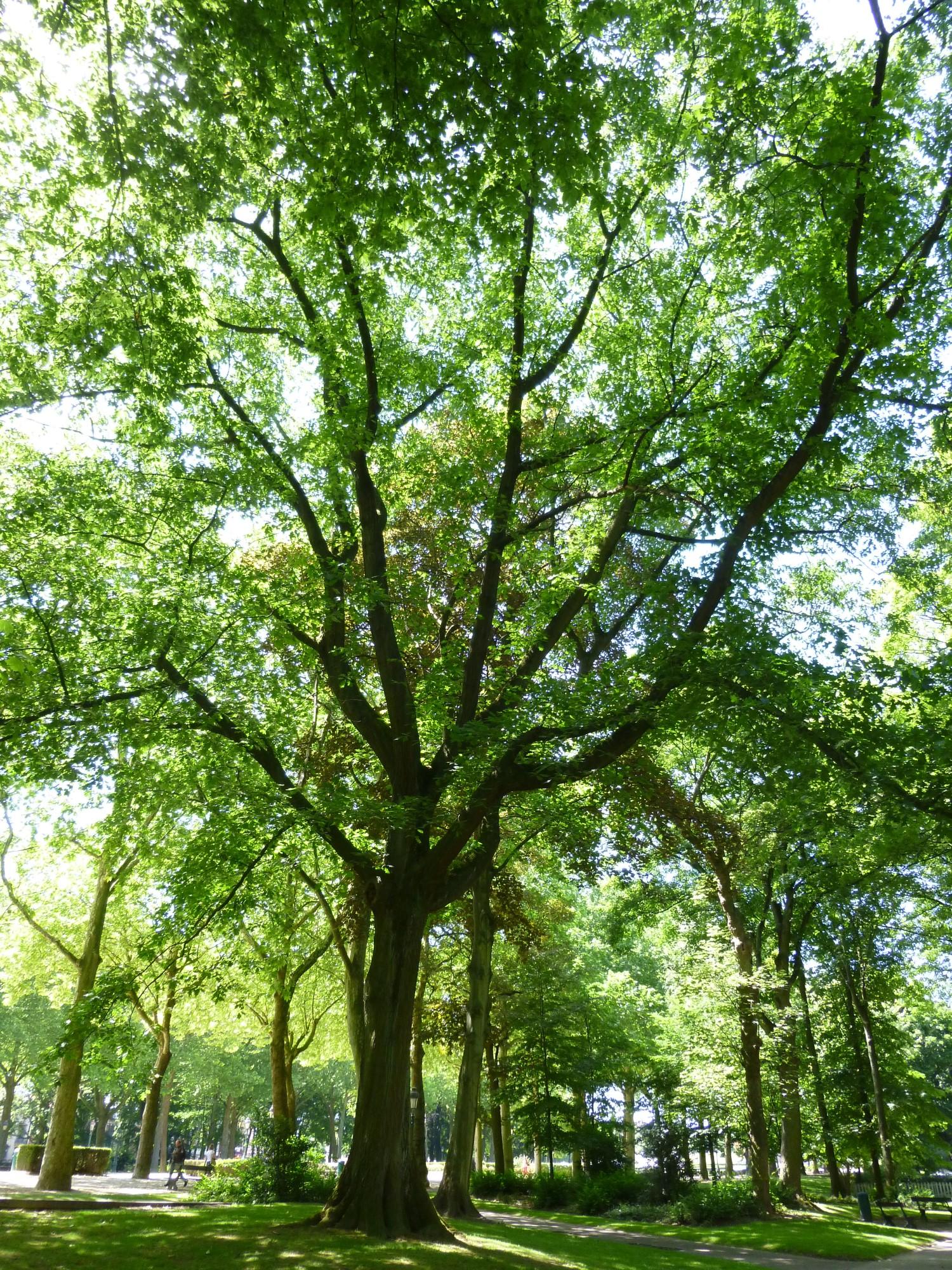 Chêne rouge d'Amérique – Koekelberg, Parc Elisabeth –  06 Juin 2014