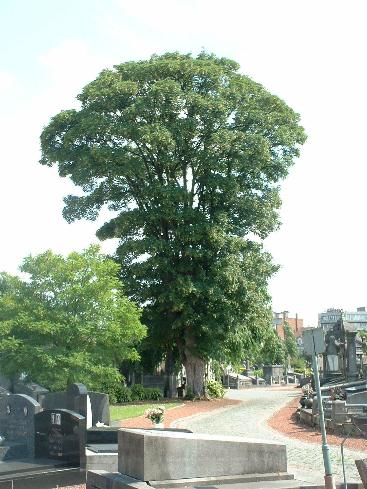 Acer pseudoplatanus 'Erectum' – Molenbeek-Saint-Jean, Cimetière de Molenbeek-Saint-Jean, cimetière –  28 Juin 2004