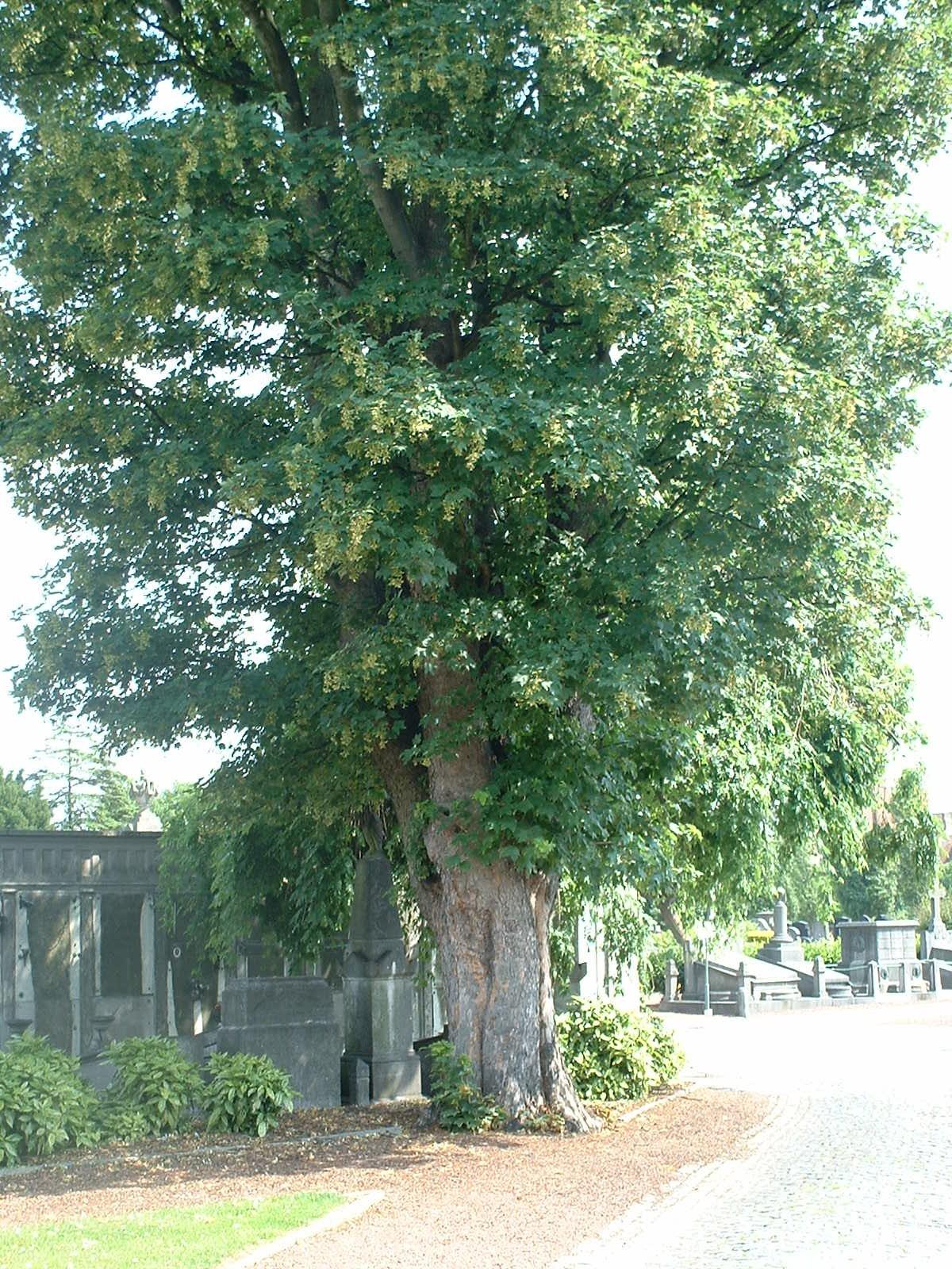 Acer pseudoplatanus 'Erectum', Cimetière de Molenbeek-Saint-Jean