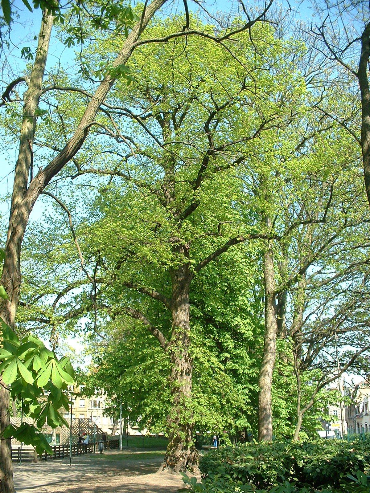 Tilleul à larges feuilles – Molenbeek-Saint-Jean, Parc des Muses, place –  15 Avril 2003