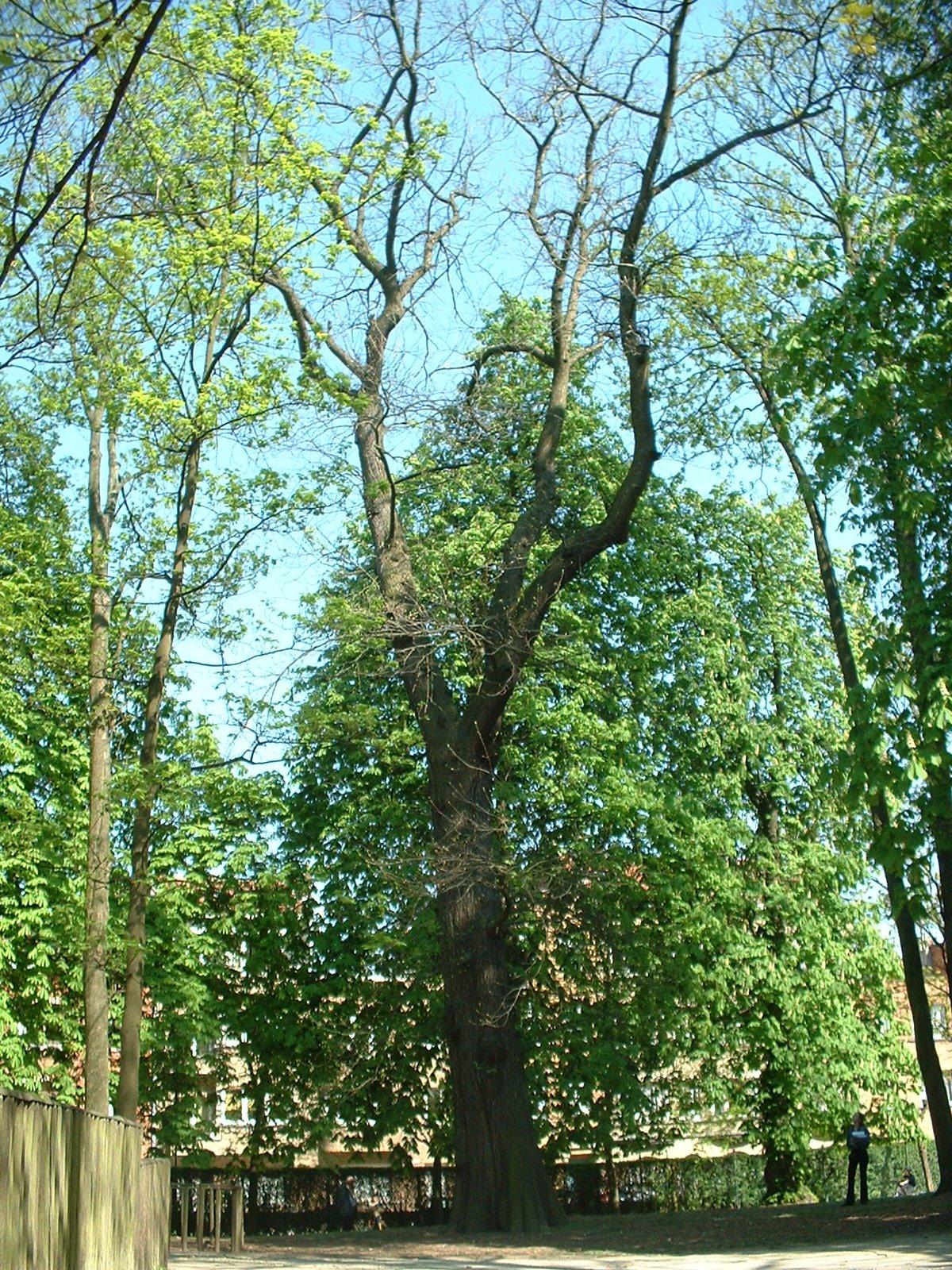 Châtaignier – Molenbeek-Saint-Jean, Parc des Muses, parc –  15 Avril 2003