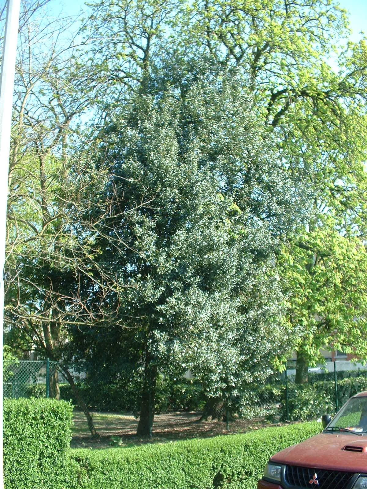 Houx de Haute-Claire – Molenbeek-Saint-Jean, Parc des Muses, parc –  15 Avril 2003