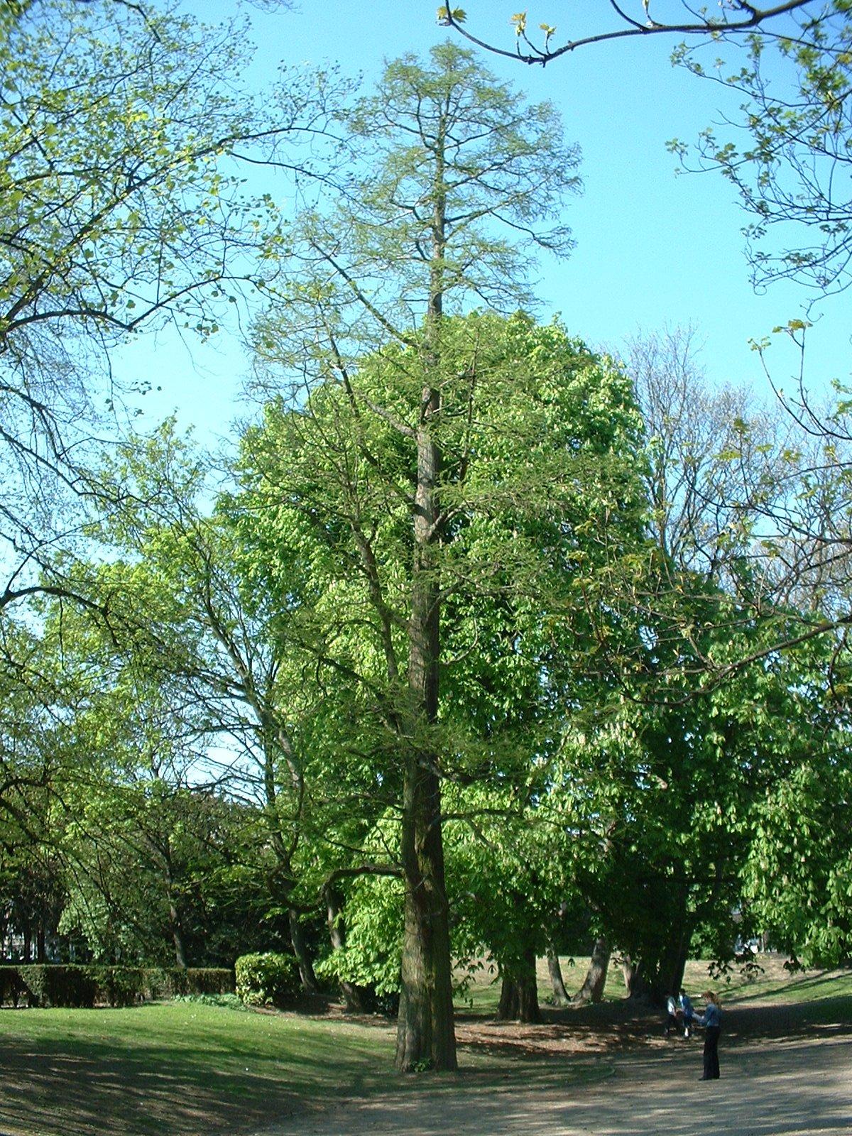 Cyprès chauve de Louisiane – Molenbeek-Saint-Jean, Parc des Muses, parc –  15 Avril 2003