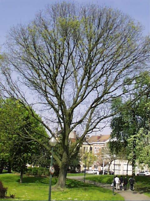 Frêne de Biltmore – Schaerbeek, Avenue Huart Hamoir et Square Riga, Avenue Huart Hamoir –  22 Avril 2002