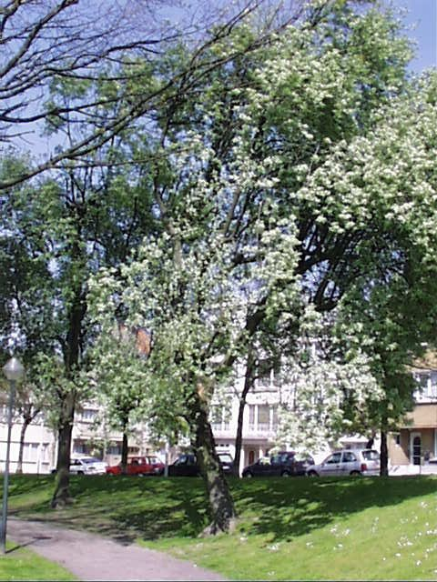 Sorbus aria f. lutescens – Schaerbeek, Avenue Huart Hamoir et Square Riga, Avenue Huart Hamoir –  22 Avril 2002