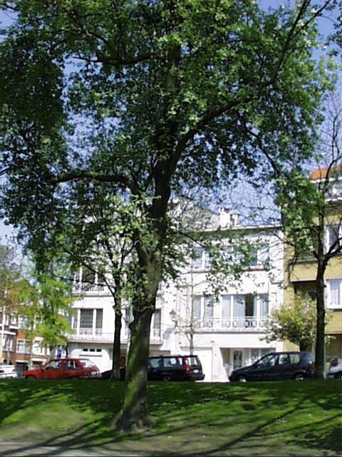 Sorbus aria f. lutescens, Avenue Huart Hamoir et Square Riga