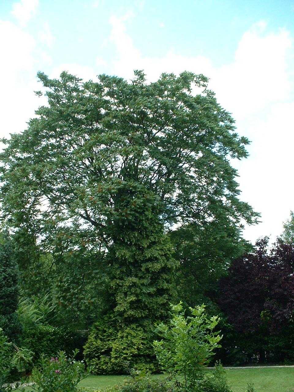 Hemelboom – Schaarbeek, Heliotropenlaan, 1 –  08 Juli 2002