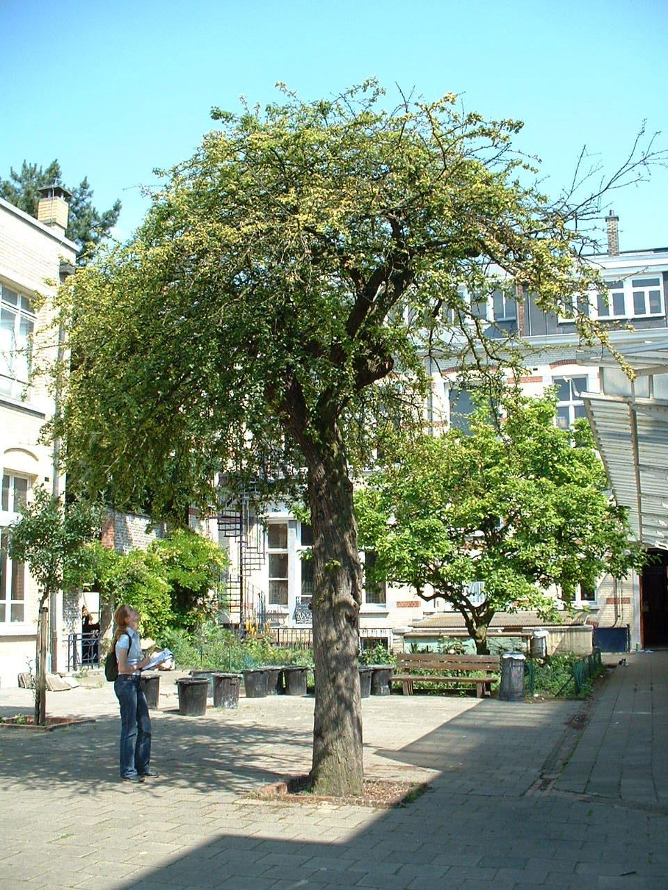 Crataegus laevigata 'Plena' – Schaerbeek, Chaussée de Haecht, 235 –  25 Juin 2002