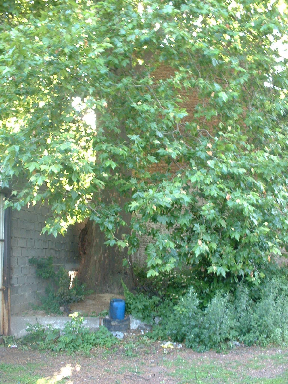 Platane à feuille d'érable – Schaerbeek, Rue d'Hoogvorst, 2 –  25 Juin 2004