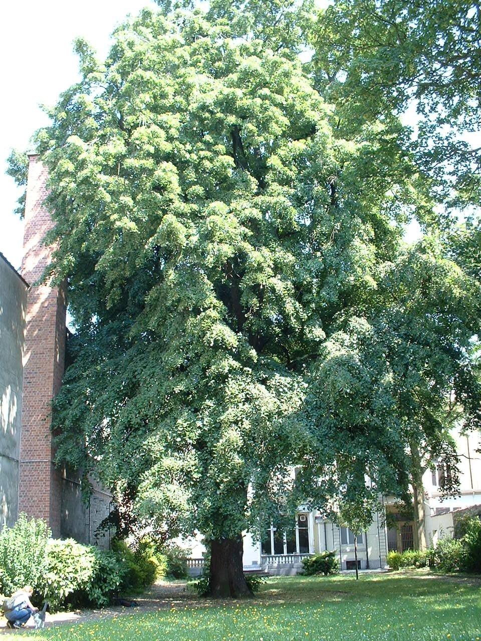 Tilleul argenté pleureur – Schaerbeek, Chaussée de Haecht, 231 –  25 Juin 2002