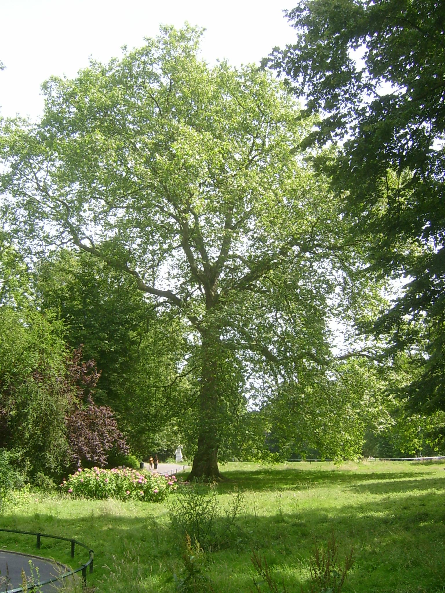 Platane à feuille d'érable – Schaerbeek, Parc Josaphat –  16 Juillet 2013