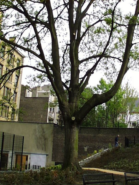 Acer pseudoplatanus f. aureovariegatum – Schaerbeek, Parc Lacroix, Avenue Princesse Elisabeth, 30/38 –  22 Avril 2002