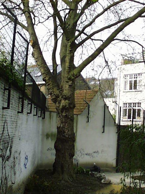 Platane à feuille d'érable – Schaerbeek, Parc Lacroix, Avenue Princesse Elisabeth, 30/38 –  22 Avril 2002