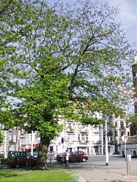 Ptérocaryer à feuilles de frêne – Schaerbeek, Avenue Huart Hamoir et Square Riga, Square François Riga –  22 Avril 2002