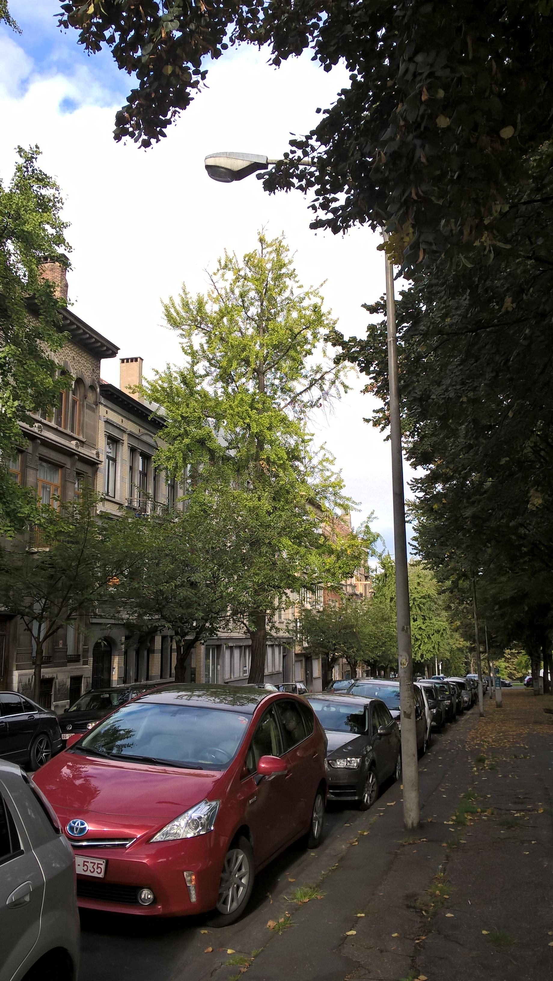 Ginkgo biloba 'Fastigiata' – Schaarbeek, Huart Hamoirlaan en Rigasquare, Huart Hamoirlaan, 111 –  24 September 2015