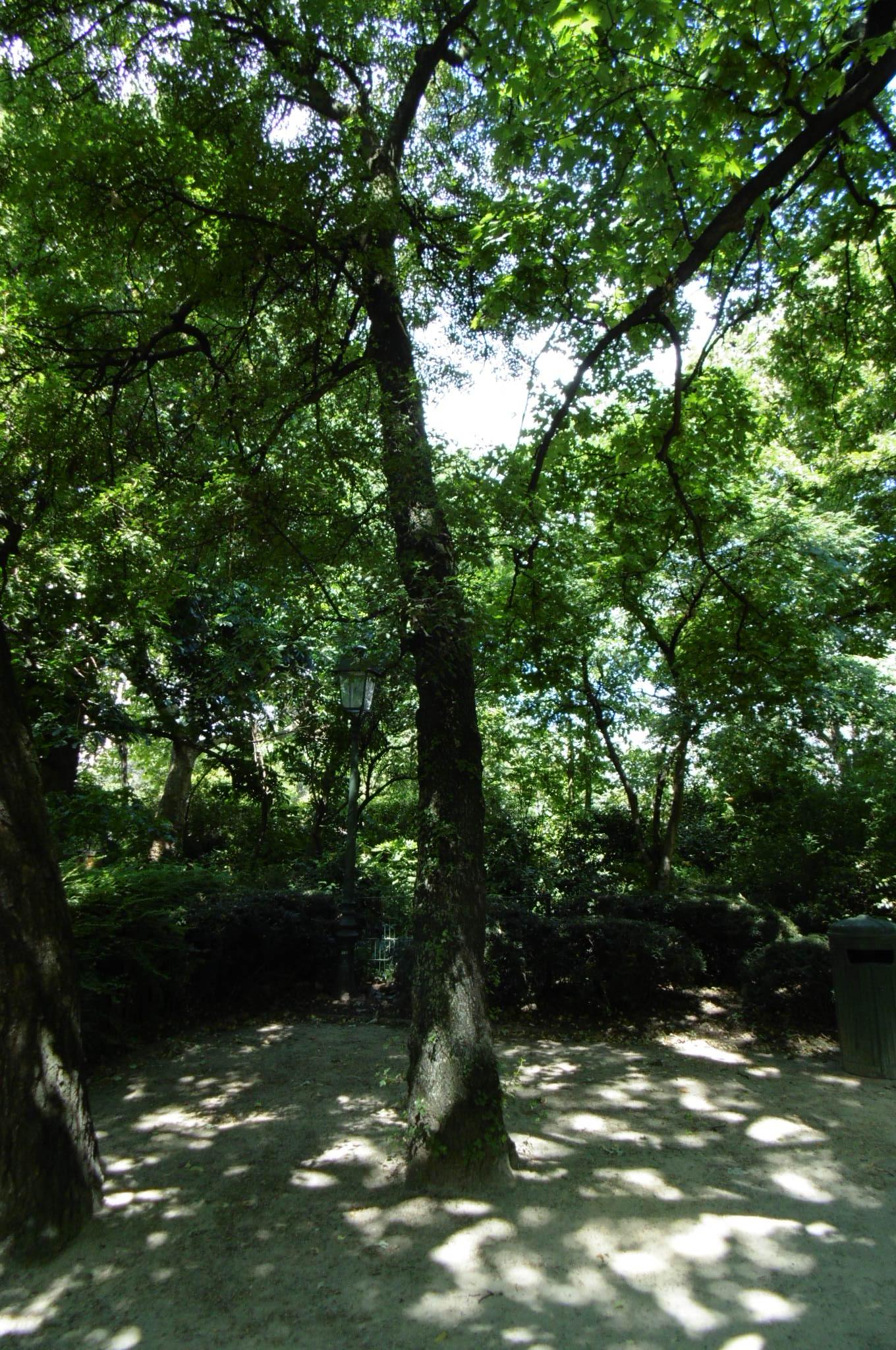 Erable de Montpellier – Saint-Josse-Ten-Noode, Jardin Botanique –  03 Juillet 2019