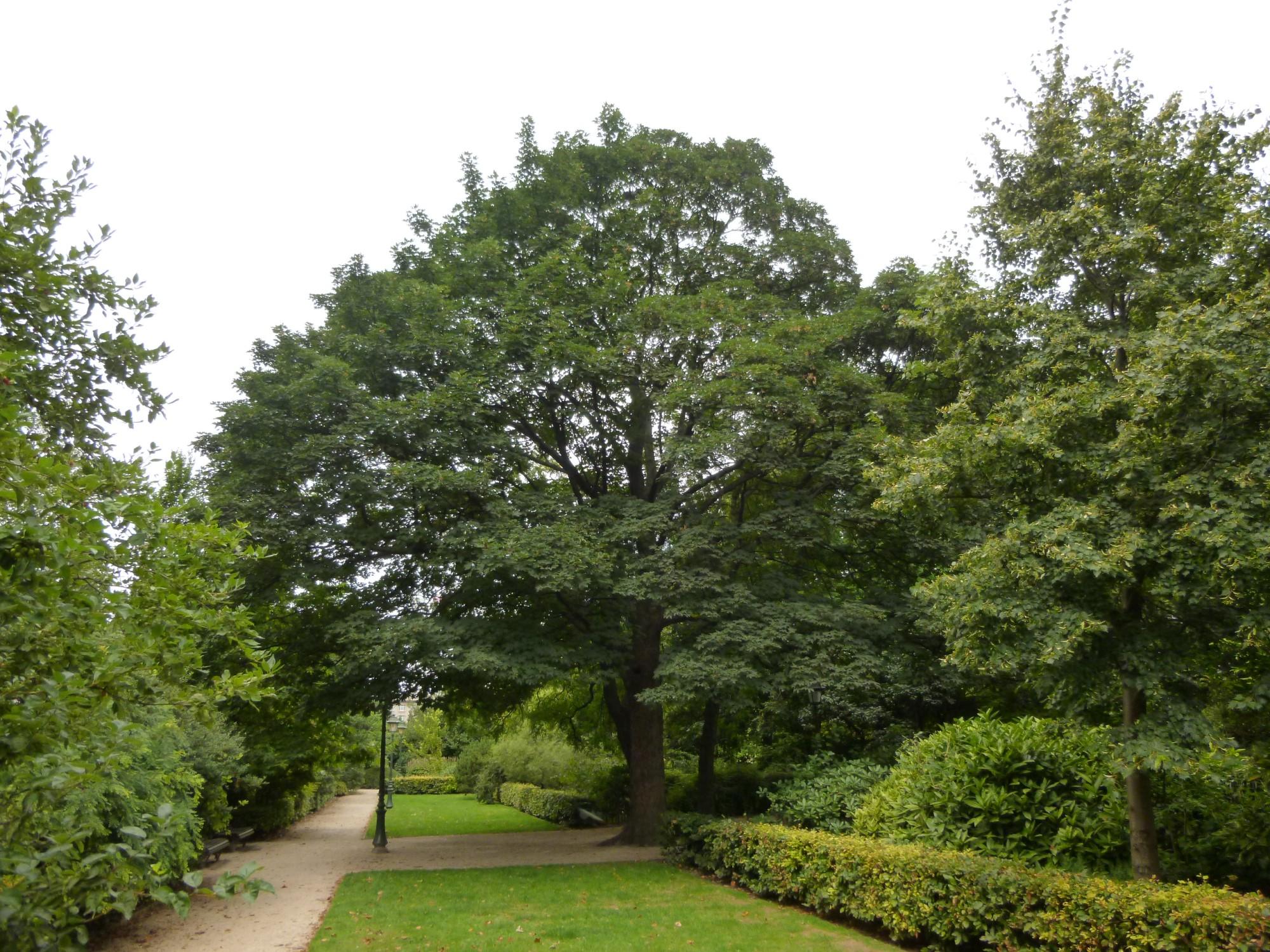 Erable Trautvetter – Saint-Josse-Ten-Noode, Jardin Botanique –  12 Août 2013