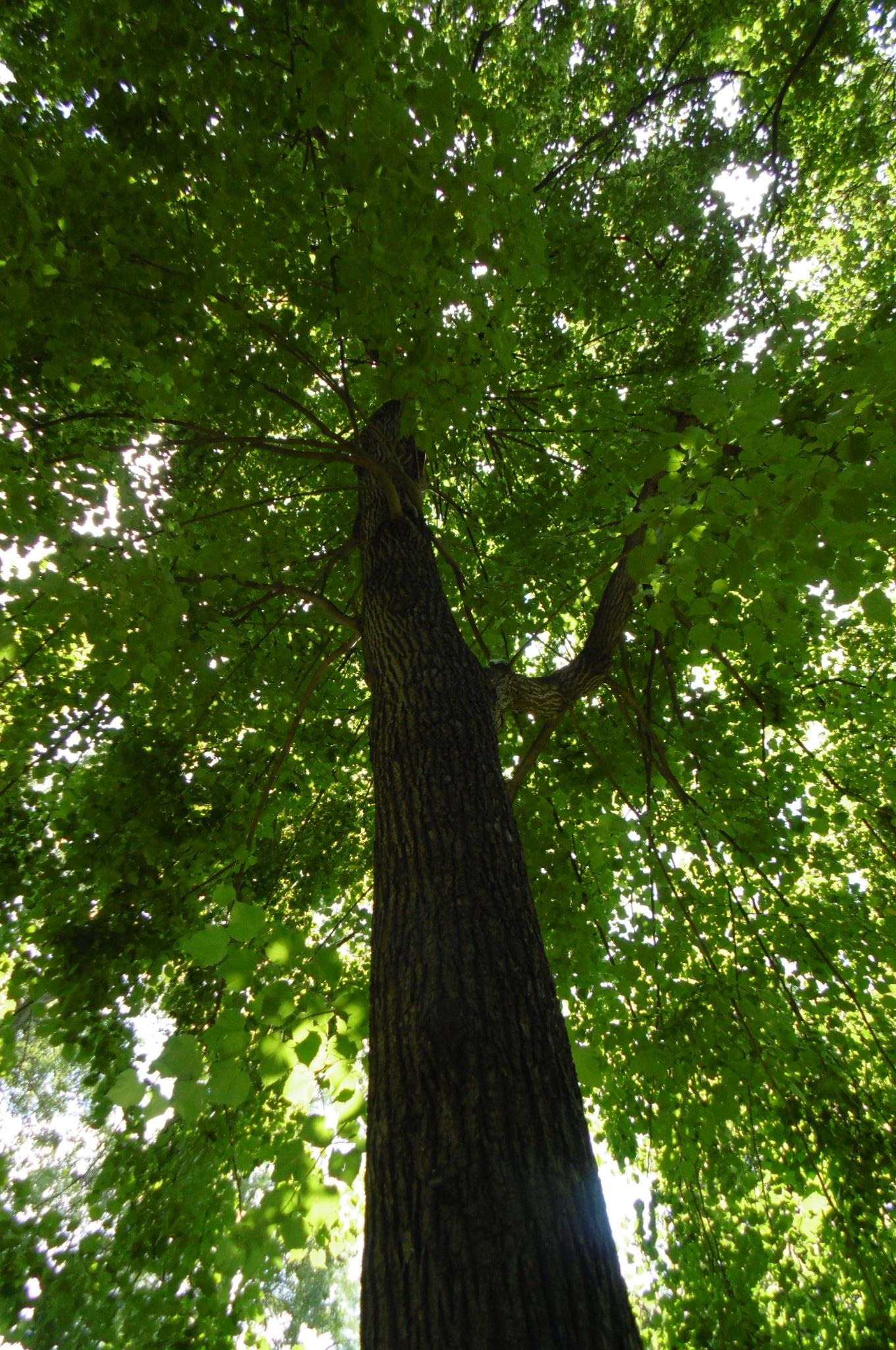 Tilia platyphyllos 'Vitifolia' – Saint-Josse-Ten-Noode, Jardin Botanique –  03 Juillet 2019