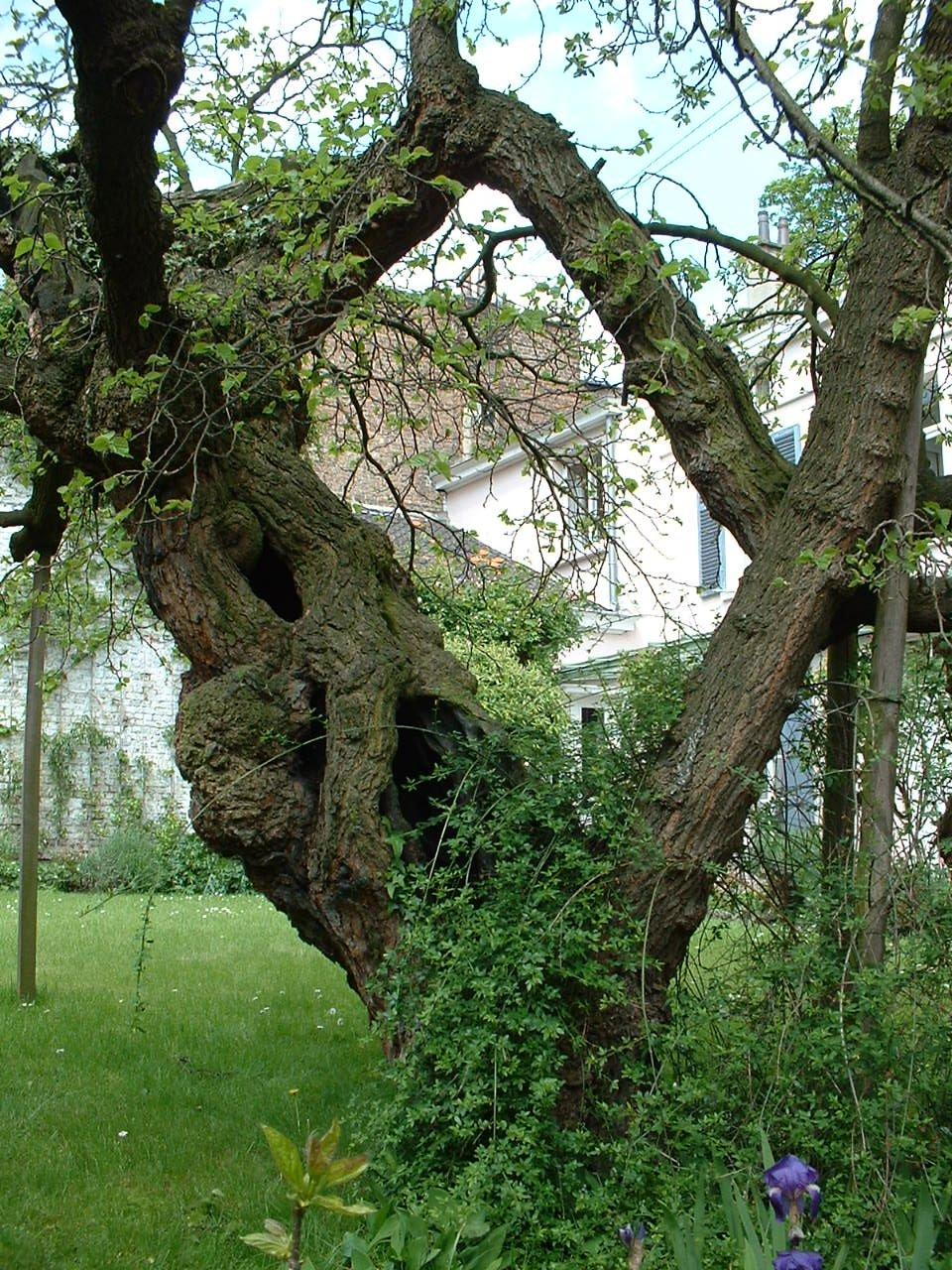 Mûrier noir – Saint-Josse-Ten-Noode, Rue Potagère, 117 –  07 Mai 2002