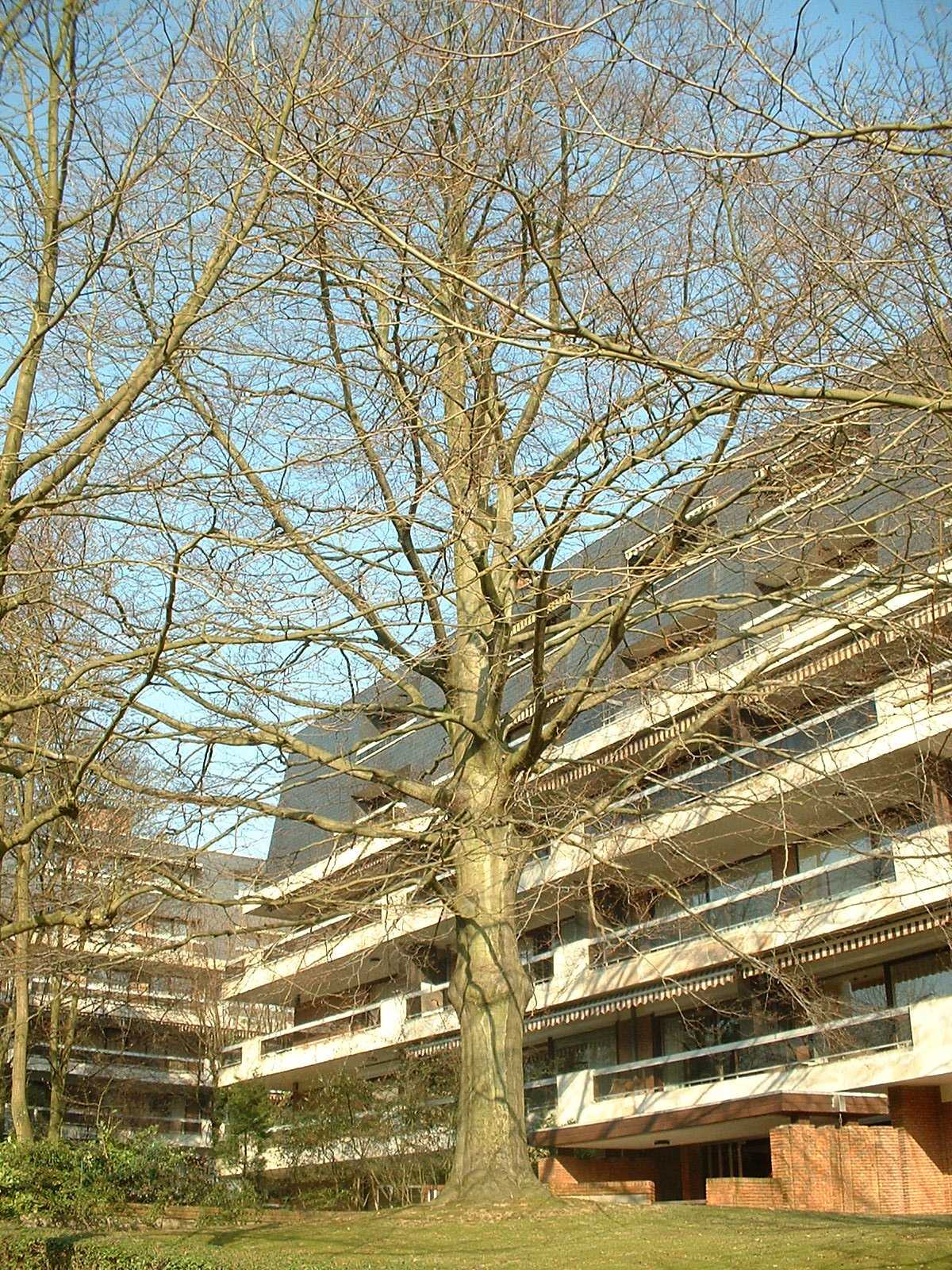 Hêtre pourpre – Uccle, Avenue Château de Walzin, 11 –  21 Février 2003