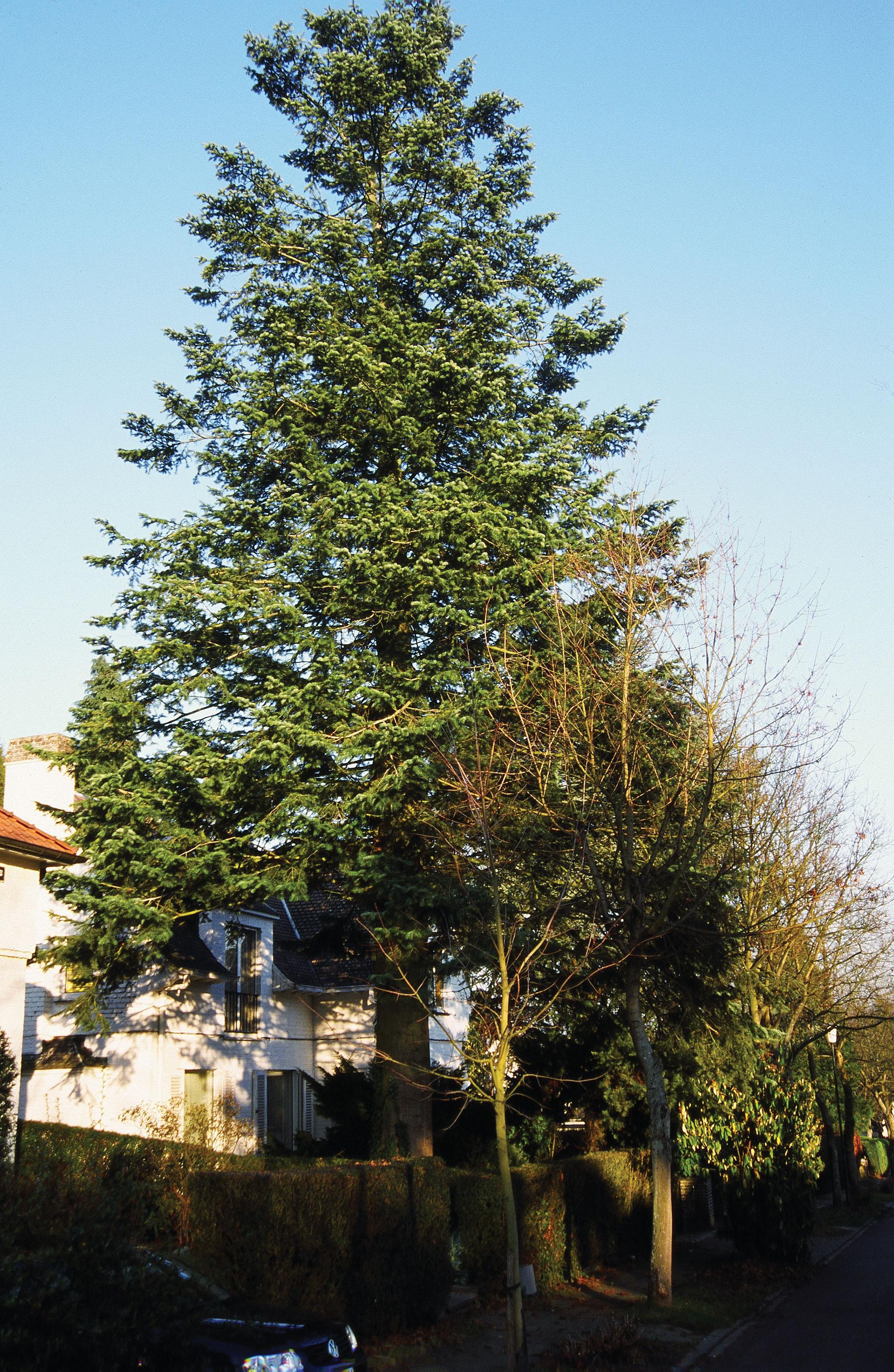 Sapin de Vancouver – Uccle, Avenue de l'Aiglon, 37 –  24 Septembre 2003