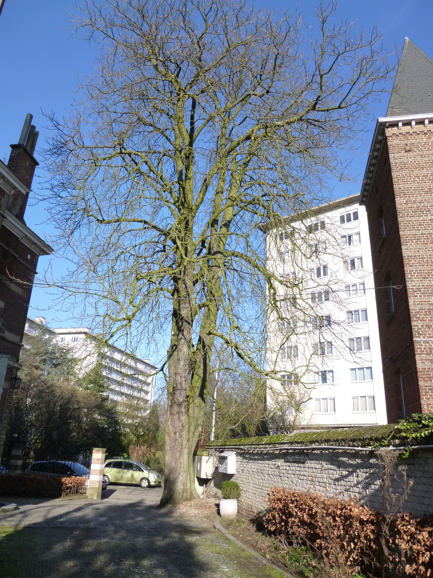 Marronnier commun – Uccle, Domaine Allard, Rue Victor Allard, 88 –  18 Février 2013