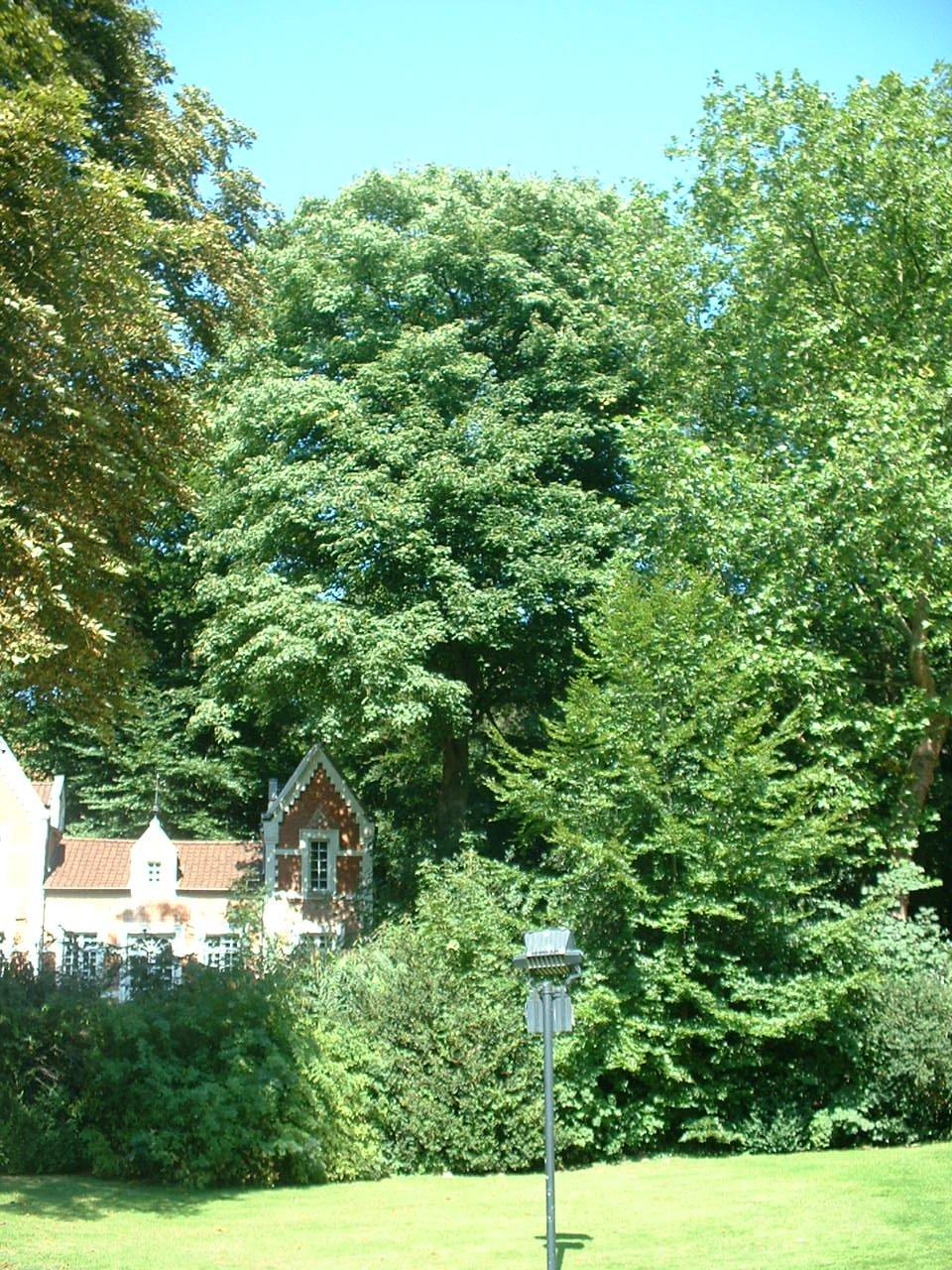 Erable sycomore – Auderghem, Parc du château Sainte Anne, Rue du Vieux Moulin, 103 –  30 Août 2005