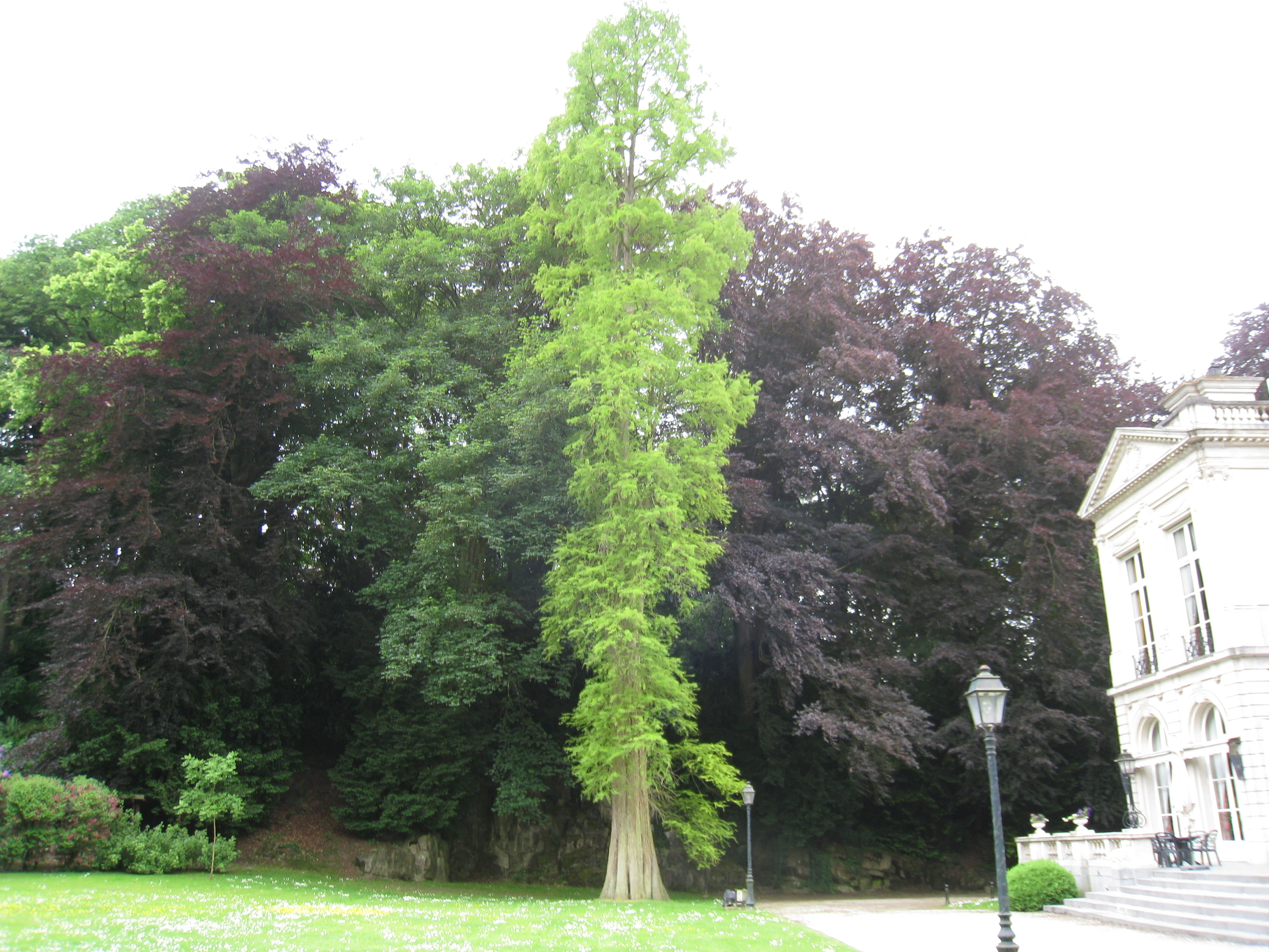 Cyprès chauve de Louisiane – Auderghem, Parc du château Sainte Anne, Rue du Vieux Moulin, 103 –  12 Juin 2013