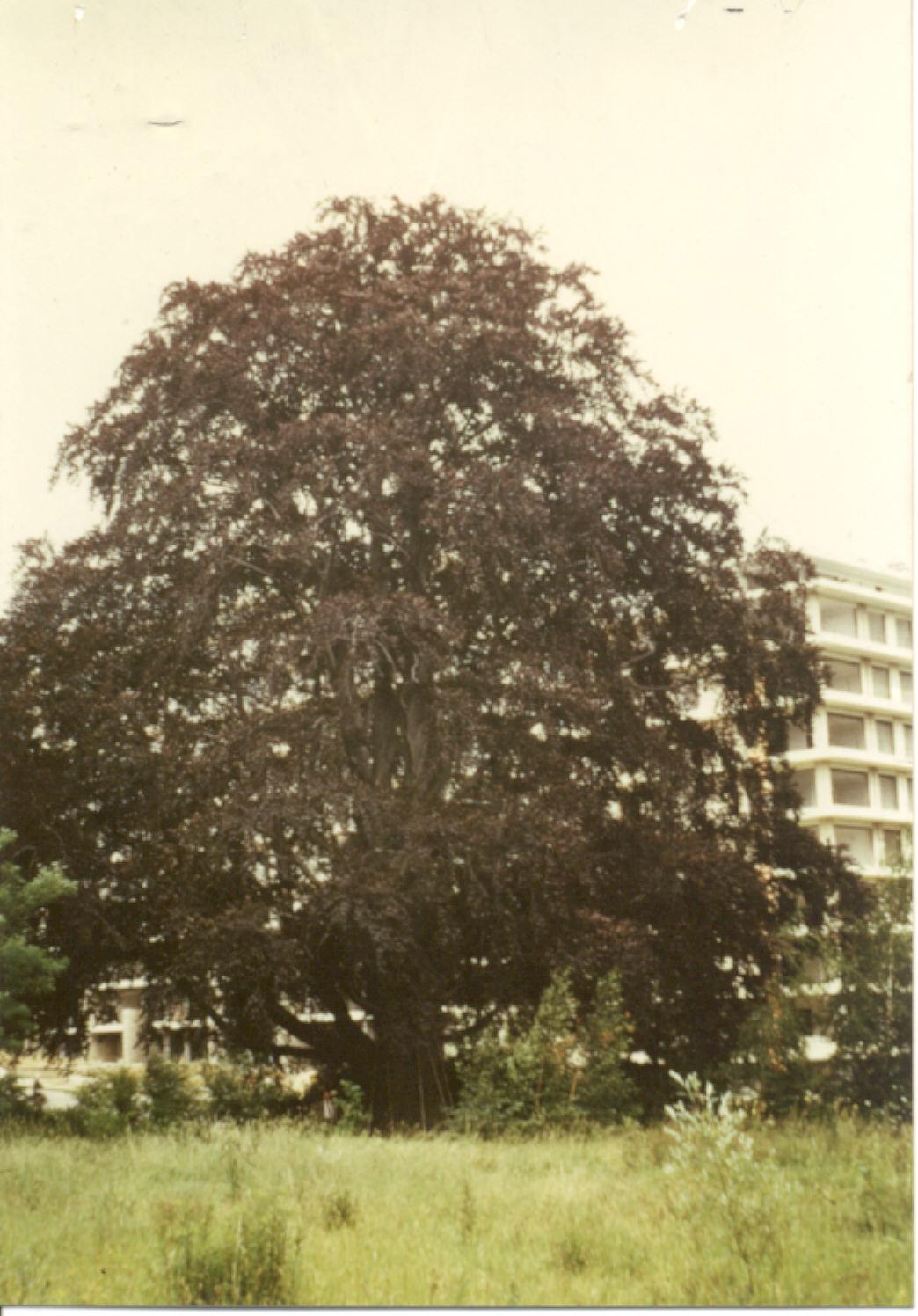 Hêtre pourpre – Uccle, Avenue Jean Burgers, 1 –  01 Janvier 1993