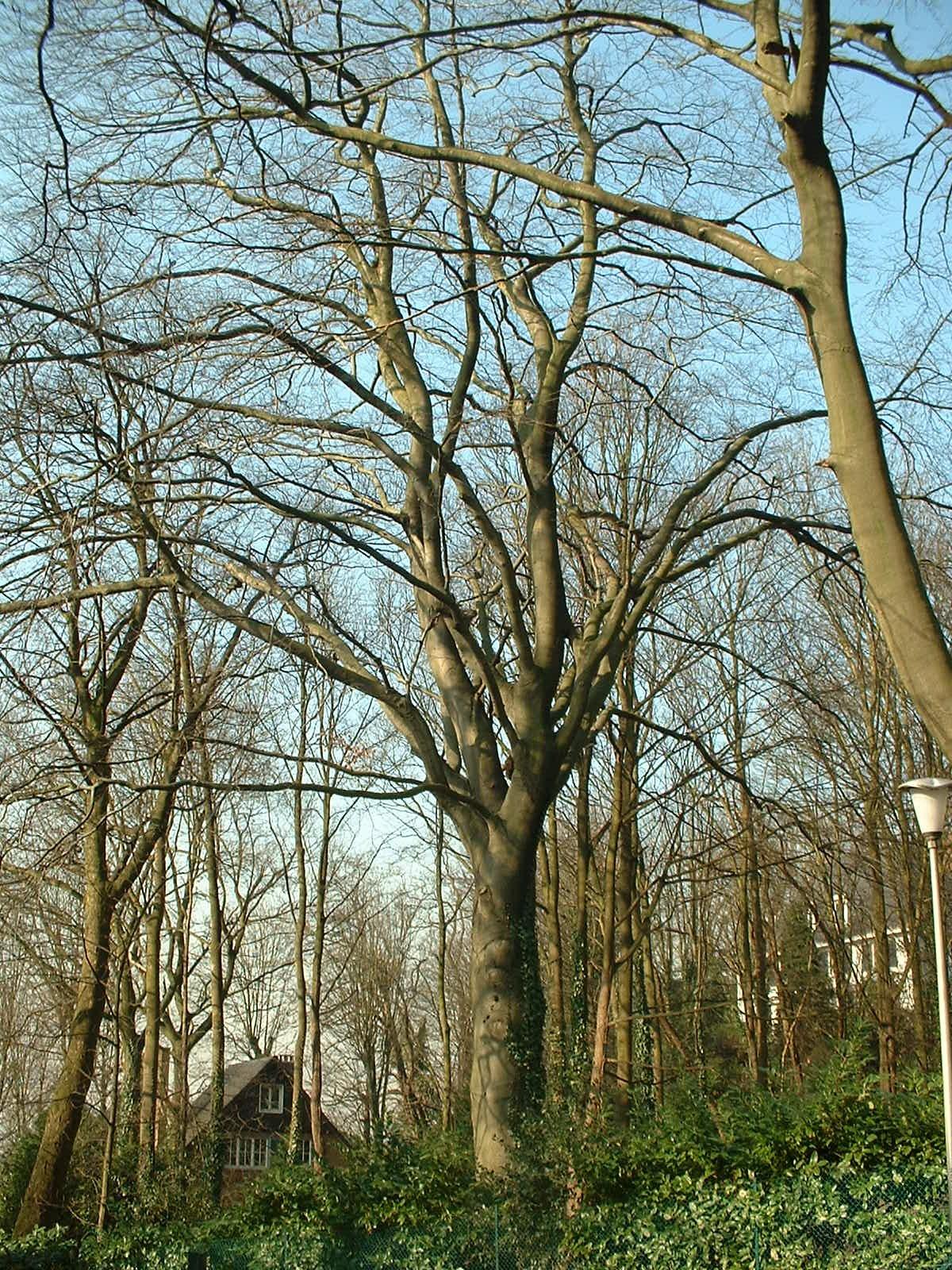 Hêtre pourpre – Uccle, Avenue du Val Fleuri, 16 –  21 Février 2003