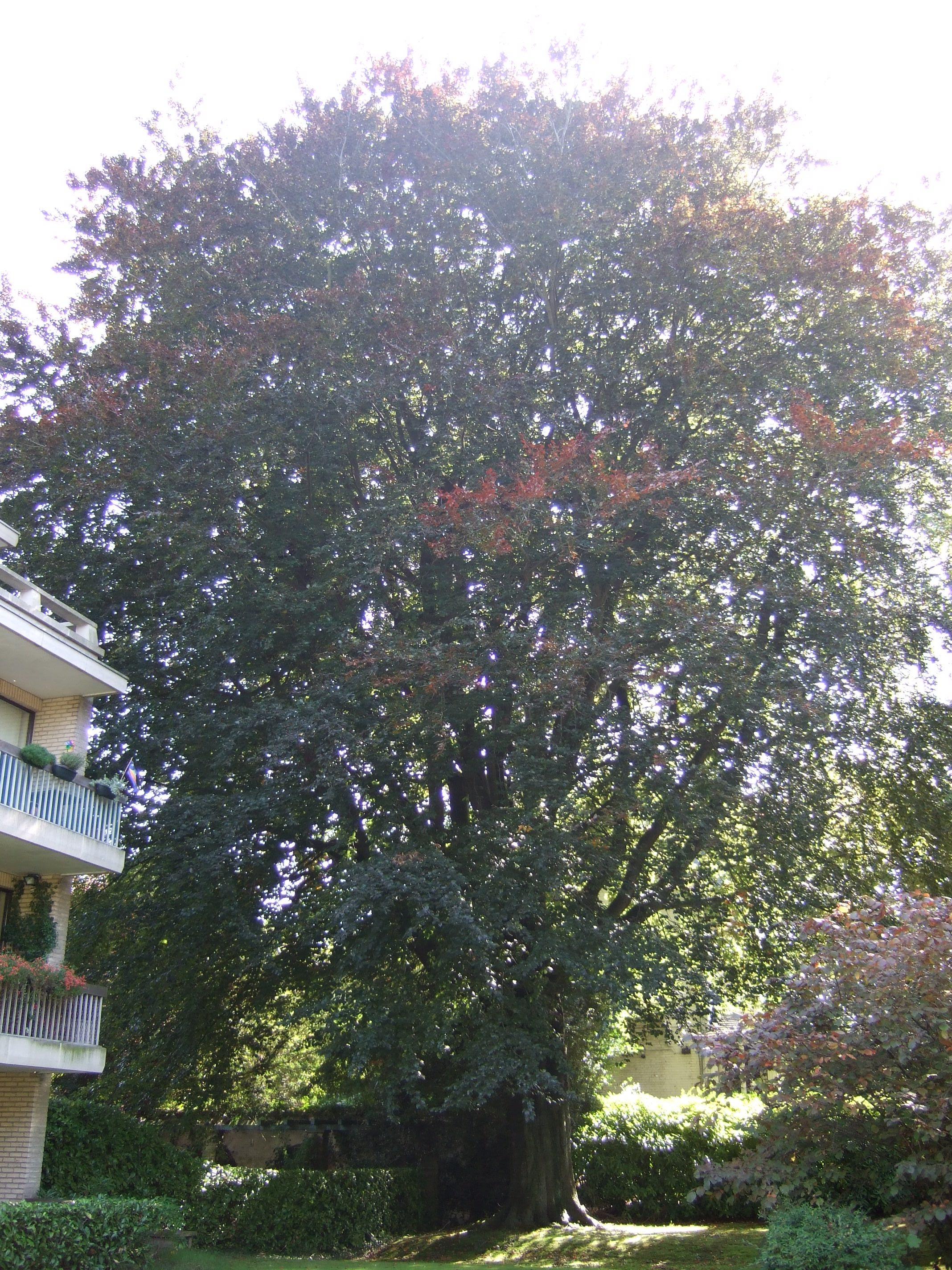 Hêtre pourpre – Uccle, Avenue Houzeau, 110 –  22 Septembre 2010