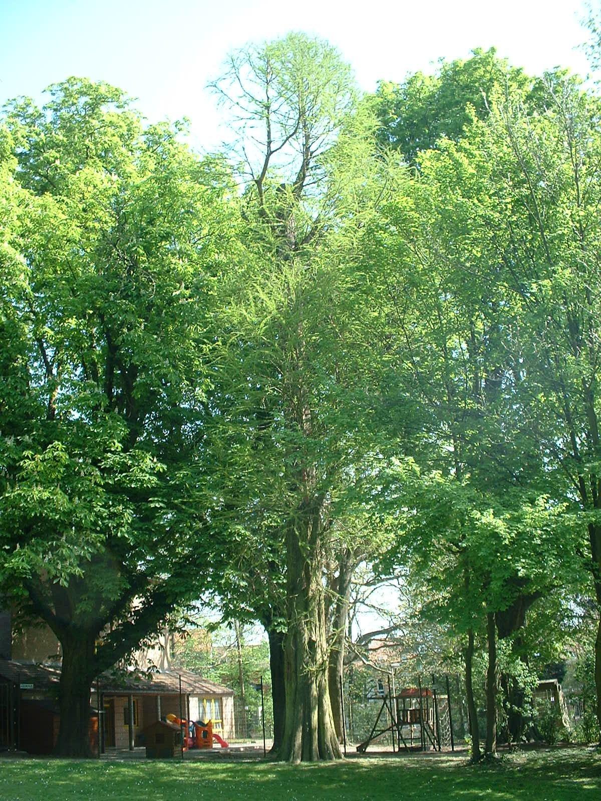 Cyprès chauve de Louisiane – Anderlecht, Parc Astrid, parc –  17 Avril 2003