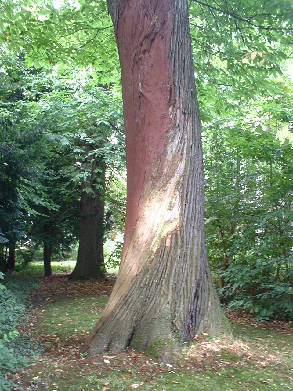 Châtaignier – Auderghem, Jardin de la propriété Goemaere, Chaussée de Wavre, 1945 –  24 Août 2005