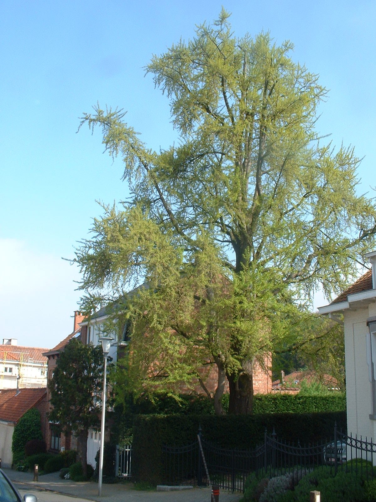 Arbre aux quarante écus – Uccle, Rue du Château d'Eau, 34 –  26 Avril 2005