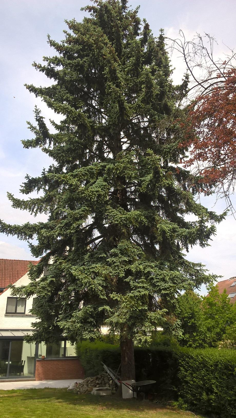 Picea pungens 'Glauca' – Uccle, Avenue de Foestraets, 54 –  23 Mai 2019