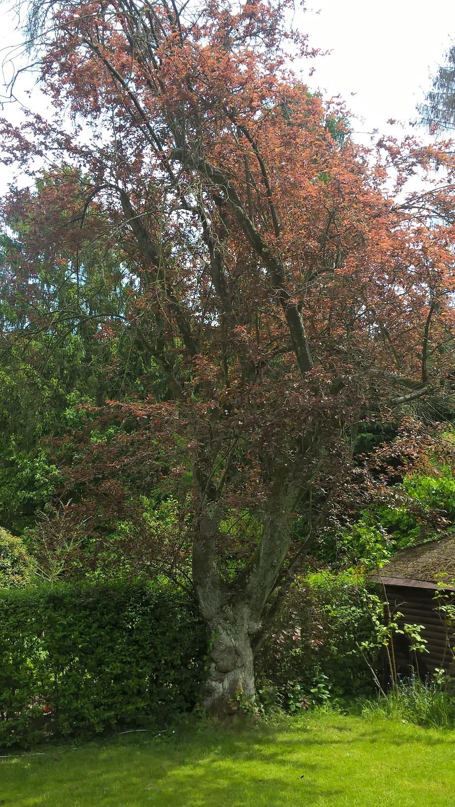 Prunus cerasifera f. atropurpurea – Uccle, Avenue de Foestraets, 54 –  23 Mai 2019