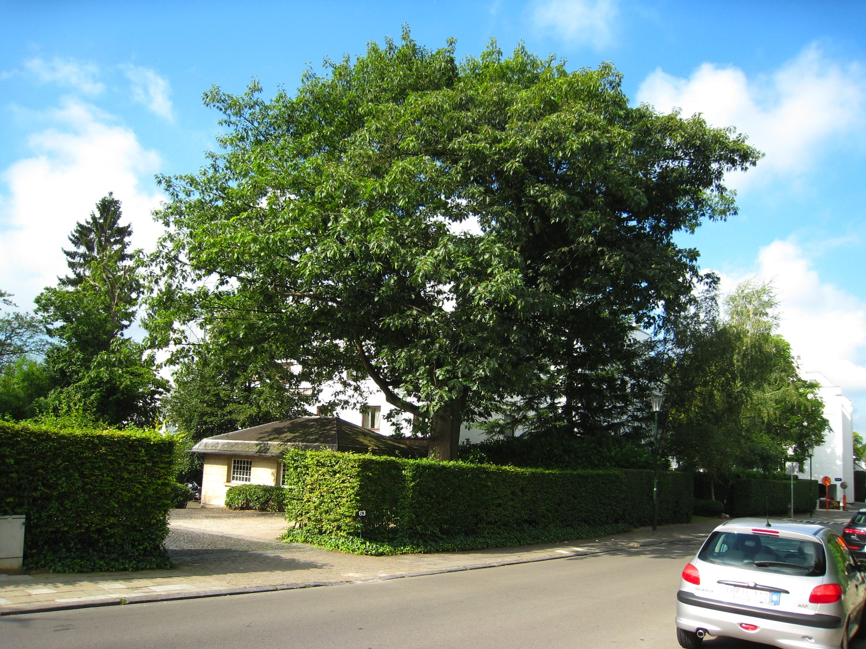 Chêne rouge d'Amérique – Uccle, Rue Langeveld, 63 –  07 Août 2007