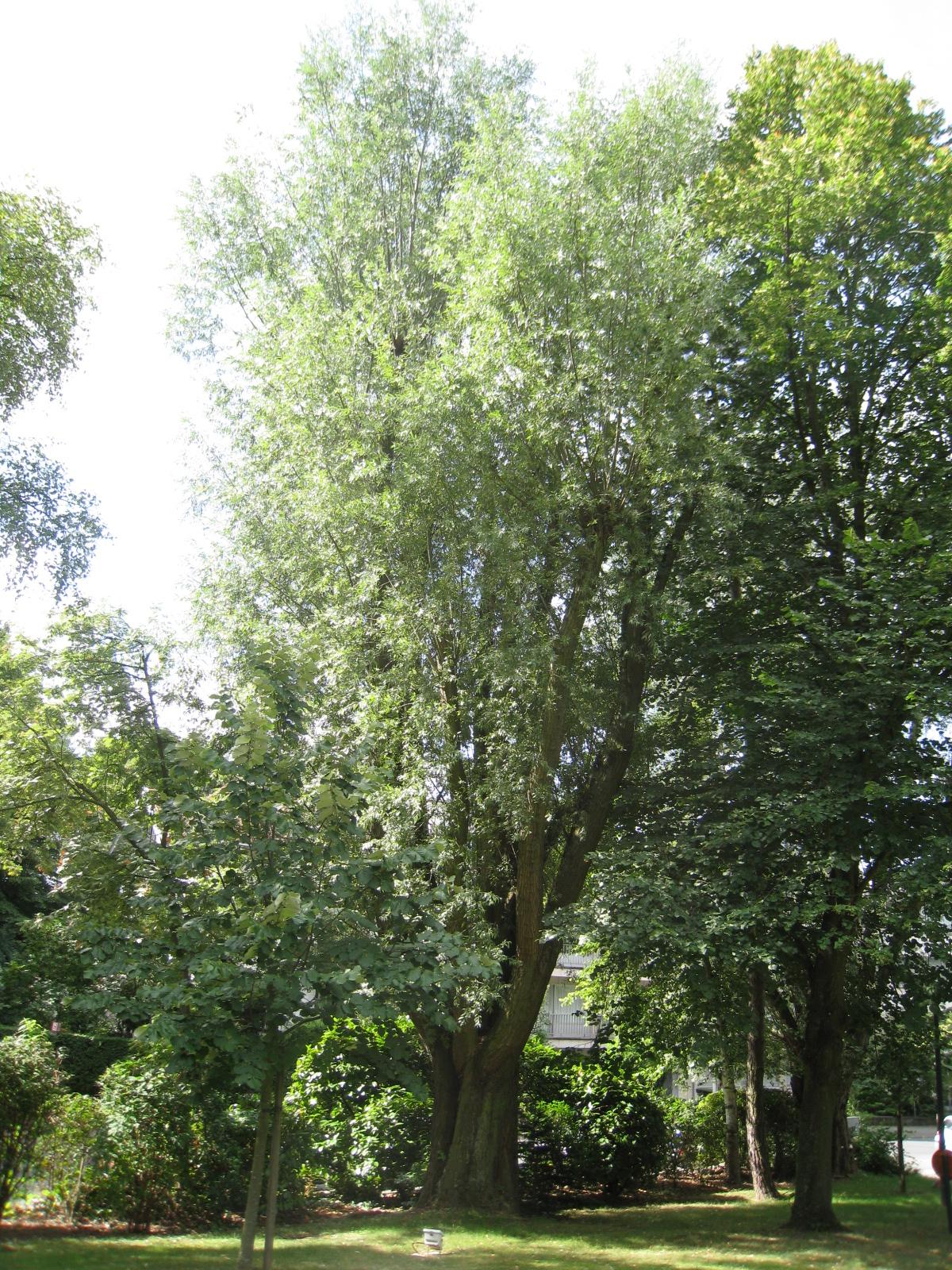 Saule blanc – Uccle, Avenue Montjoie, 169 –  09 Août 2010