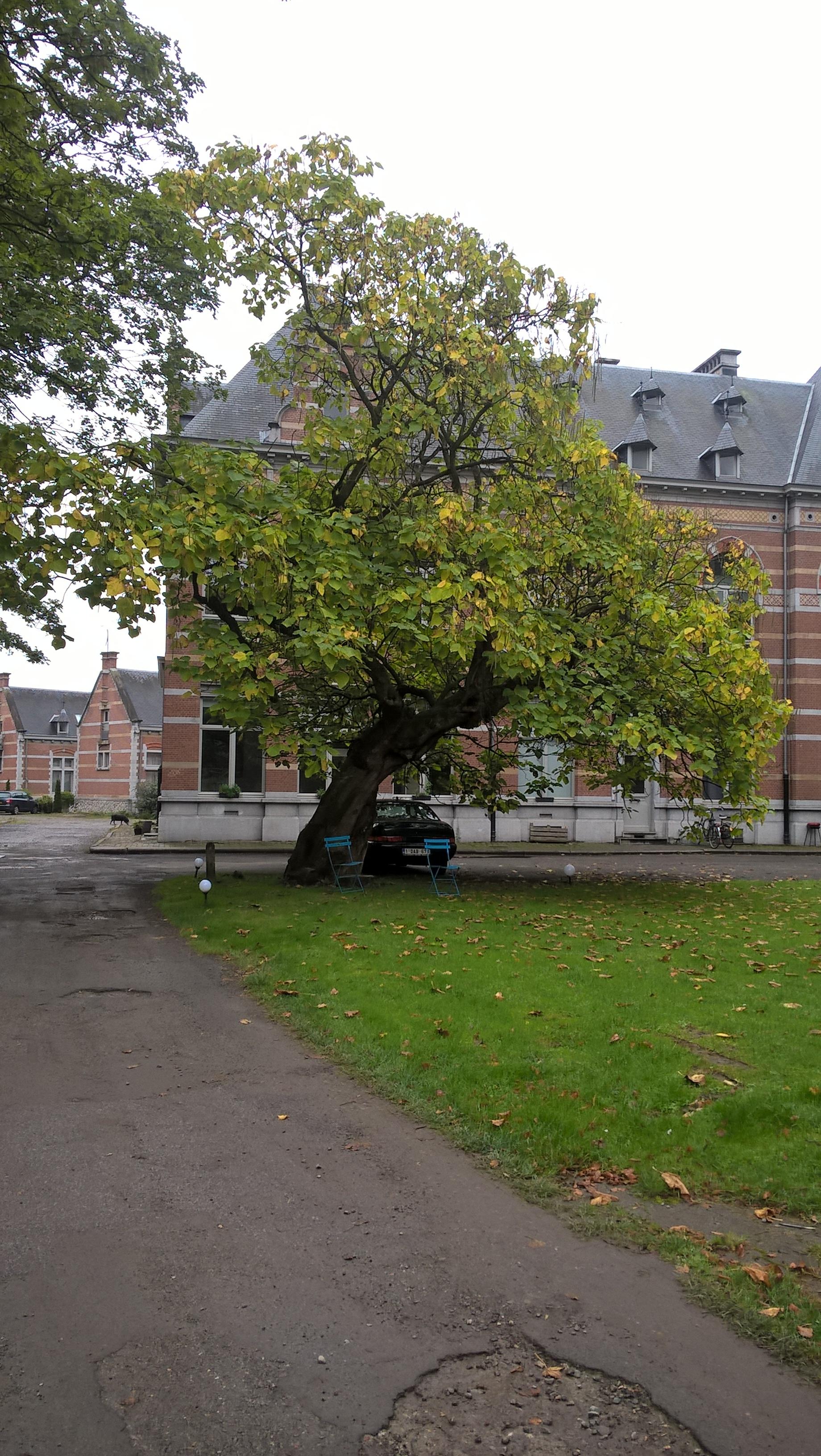 Catalpa commun – Anderlecht, Ecole vétérinaire de Cureghem –  08 Octobre 2015